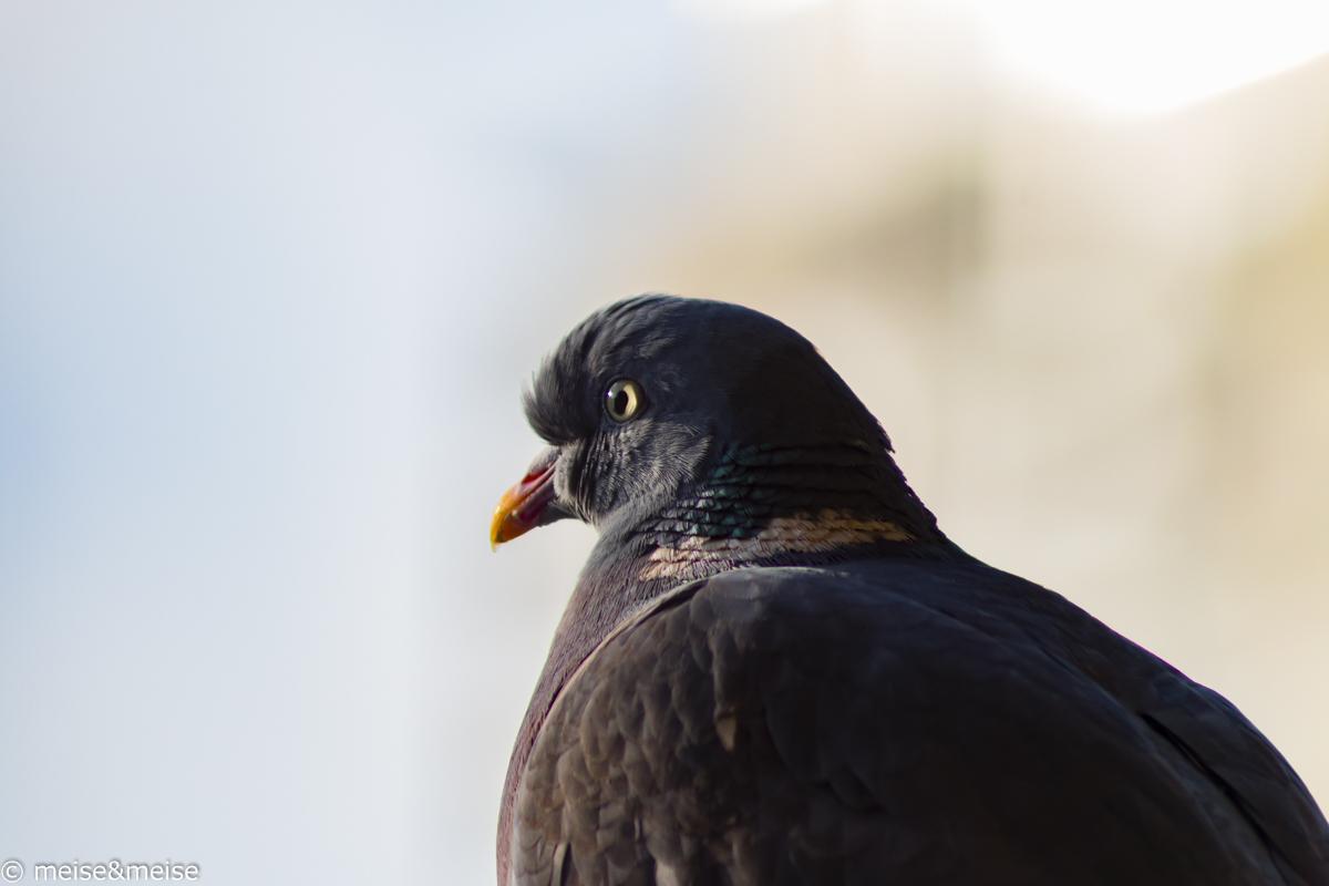 Birds_4 - Ringeltaube