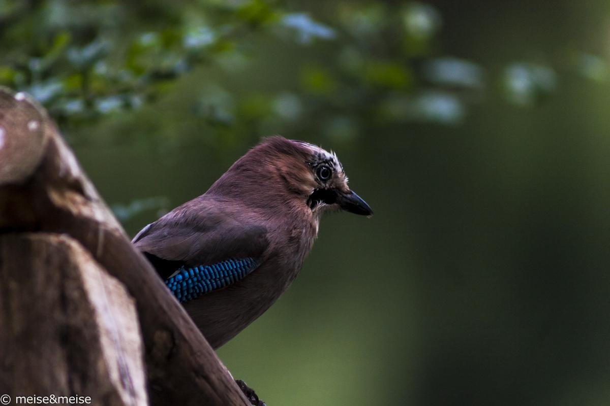 Birds_6 - Eichelhäher